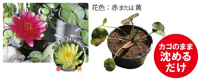 花芽つき 温帯スイレン丸カゴ