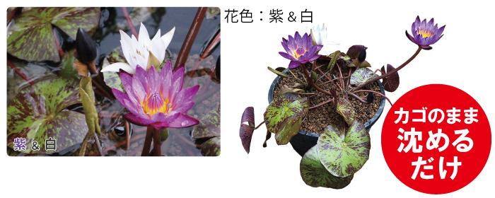 花熱帯スイレン2色植え丸カゴ