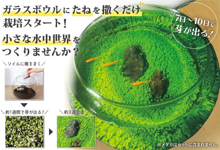水草のじゅうたんボウルキット