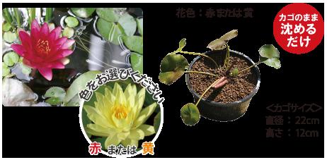温帯スイレンカゴ植え