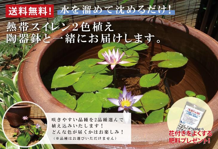熱帯スイレン2色植え 陶器鉢付きお値打ち3点セット
