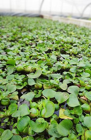 ホテイアオイ、ミニホテイアオイは自社栽培です