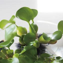 ホテイアオイ、布袋葵