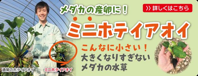 メダカの産卵用水草におすすめ!ミニホテイアオイ、ヒメホテイアオオイ
