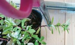 水草カット苗手順① 杜若園芸 水草水槽 水草 アクアリウム