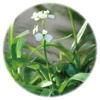 メダカにおすすめ水草 ナガバオモダカ