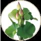 ハスの切り花(期間限定)