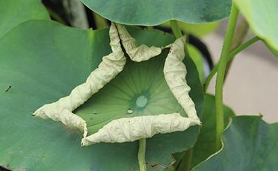夏 蓮・ハス 苗の状態 葉がパリパリ、乾燥して枯れてきている
