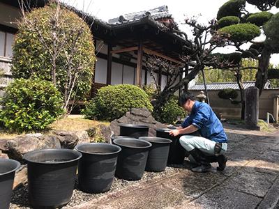 杜若園芸 とじゃくえんげい 蓮の出張植え替えいたします。
