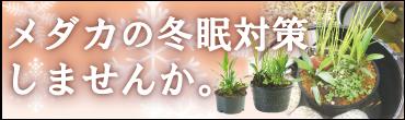 メダカの冬眠用植物