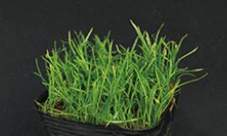 ロゼット型の水草 杜若園芸 水草水槽 水草 アクアリウム