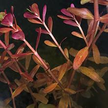 ロタラHRA 杜若園芸 水草水槽 水草 アクアリウム