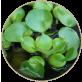 メダカ産卵水草