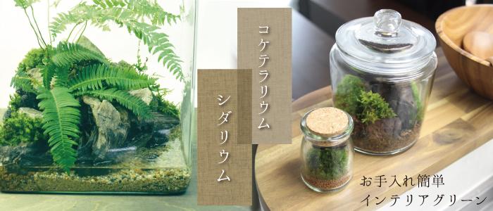 杜若園芸 とじゃくえんげい シダリウム・コケテラリウム 苔、こけ、コケ 販売