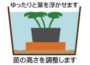浮葉植物の水位調節