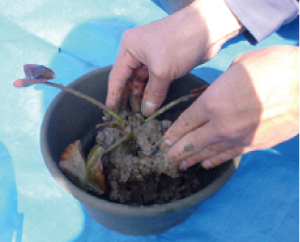 ② 隙間に上から赤玉土を入れて中央に成長点を  気持ち持ち上げるように植えます。