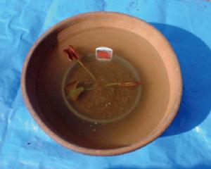 ④水鉢にスイレンを入れ、水を注ぎいれま  す。