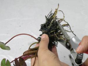 ②取り出した根茎から生えている根は、切り取  ります。