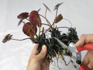 ③1つの根茎に1芽あるように根茎を切り分けま  す。