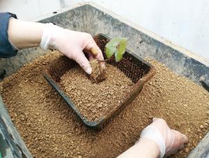 ②肥料が直接根に触れないよう土を入れ、スイ  レンの芽を上に向けて鉢の真ん中に置きます。