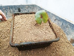 ③苗の芽が出ている部分が見え、根が出ない程  度になるべく浅く植えつけます。