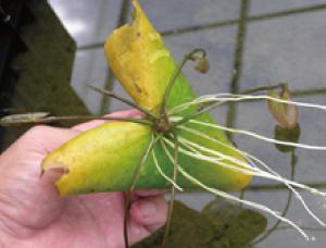 ③芽と根が成長した状態。