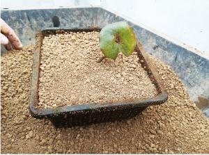 ④芽が動き始めたら、土に植え込みま  す。