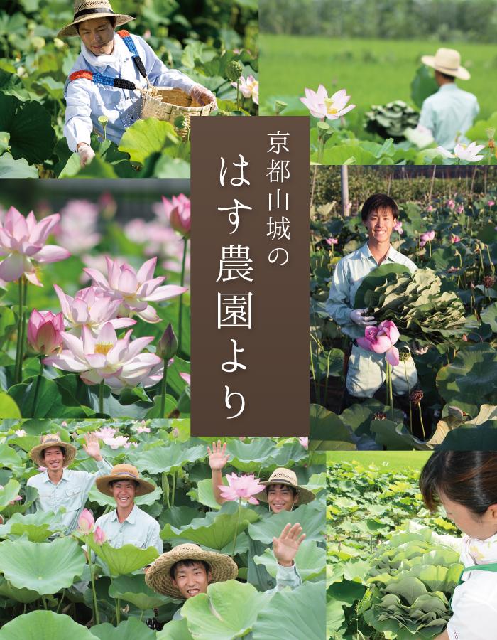 京都山城のはす農園より日本の蓮の葉茶です!