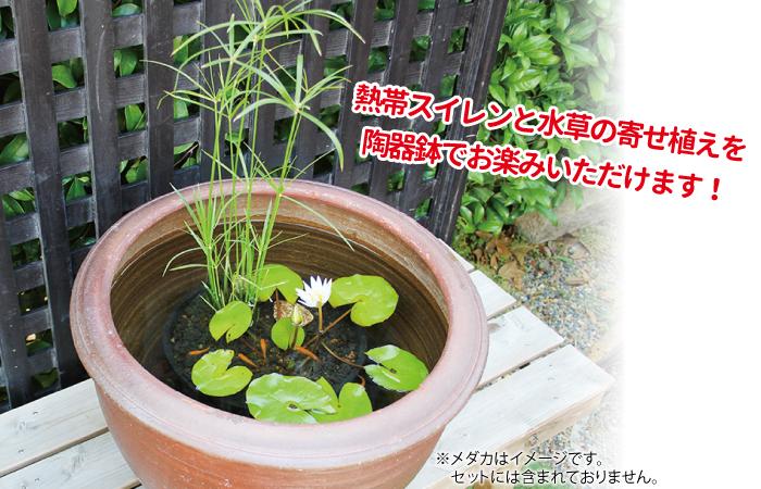 陶器鉢付き熱帯スイレン寄せ植えセット イメージ