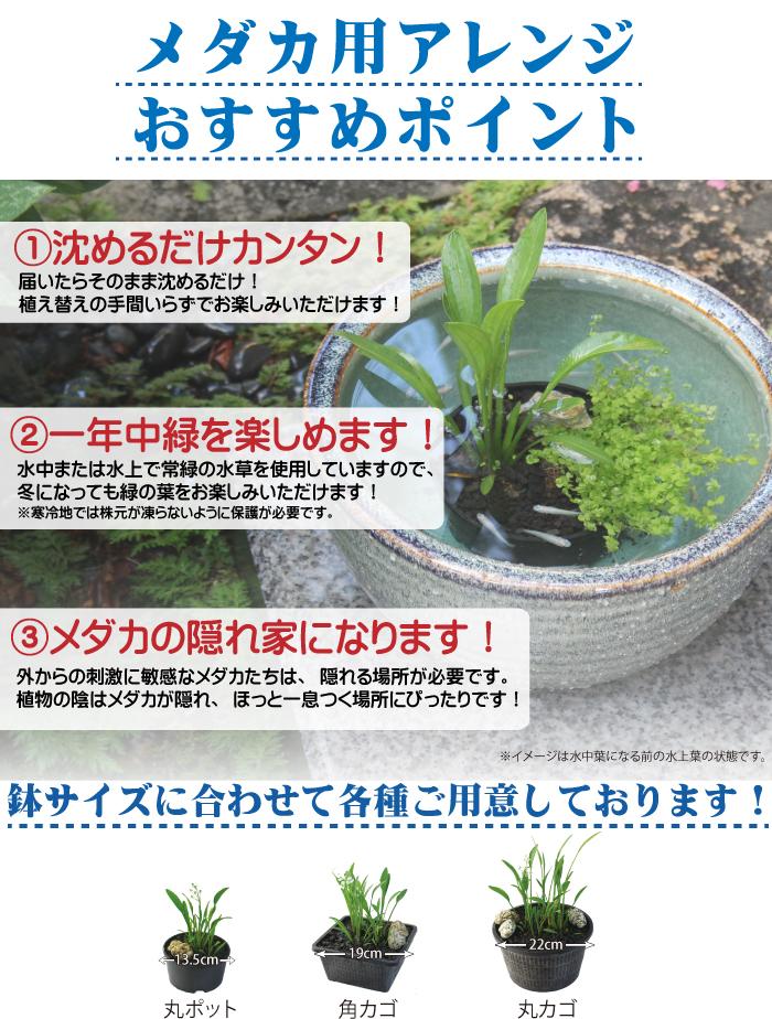 メダカ用水草 アレンジ 寄せ植え 簡単 おすすめ
