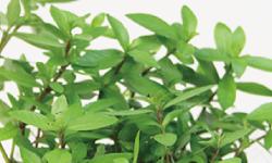 有茎草の水草 杜若園芸 水草水槽 水草 アクアリウム