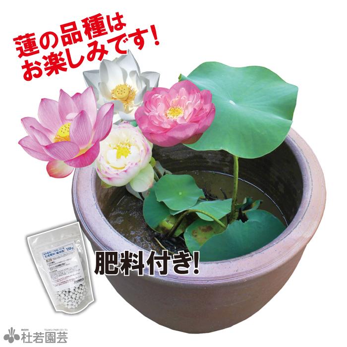 お楽しみ蓮苗 植え付け済み陶器鉢
