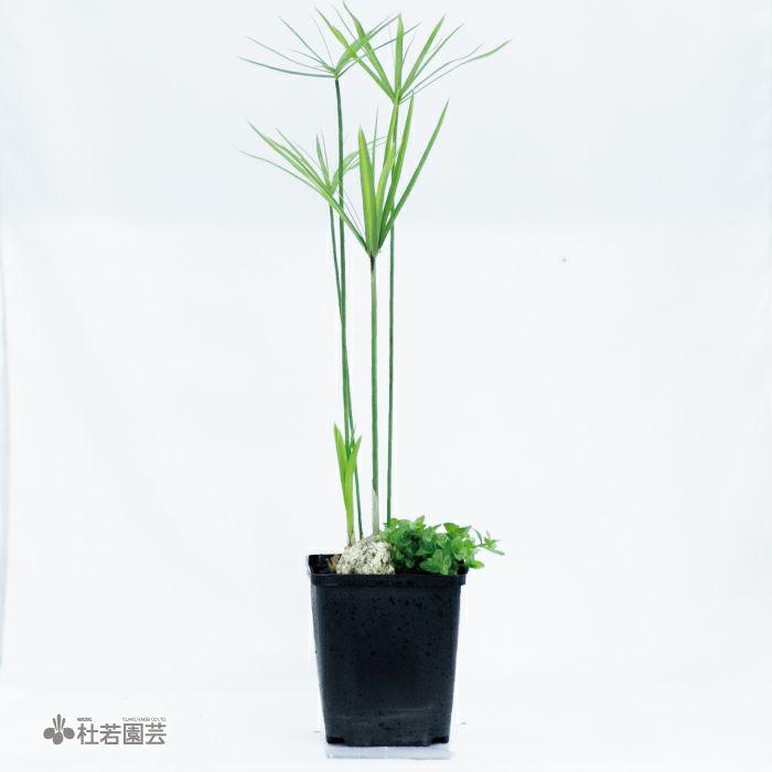 メダカ鉢用角ポットアレンジA